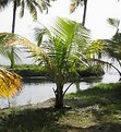 Picture Title - Baby coconut tree