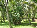 Picture Title - Banana Trees