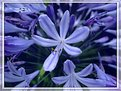 Picture Title - Agapanthus