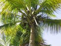 Picture Title - Bunch of coconuts in a tree