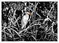 Picture Title - White Egrette