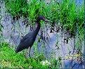 Picture Title - Tri - Color Heron