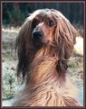 Picture Title - My Dog Afghanhound
