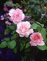 Picture Title - Roses