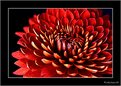 Picture Title - Chrysanthemum - 33