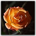Picture Title - Tea Rose